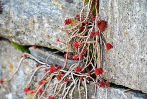This is red sedum. Sedum does really well growing along stone walkways and even between the crevices in stone walls!