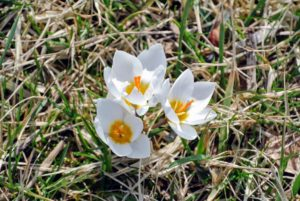 Here are some white crocuses. They only reach about two to four inches tall, but they naturalize easily, meaning they spread and come back year after year.