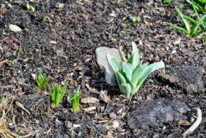 All around the farm, bulbs are pushing through the earth with so much energy.