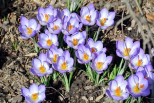 Crocus is among the first flowers to appear in spring, usually in shades of purple, yellow and white.