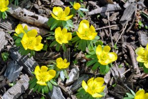 Winter aconite produces such cheerful yellow flowers that appear in late winter or earliest spring. And, they are deer resistant.