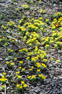 Eranthis, or winter aconite, is a genus of eight species of flowering plants in the family Ranunculaceae - the Buttercup family.