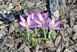 Here are purple, white, and yellow croci. Crocus is a genus of flowering plants in the iris family made up of about 90-species of perennial plants.