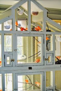 My large canary cage with all my beautiful Red Factor canaries is one of the focal points at my Bedford, New York home.  Everyone loves to visit them and listen to their melodious song. Do you share your home with any avian friends? Let me know in the comments section below.