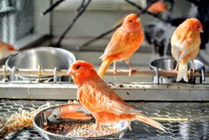 The Red Factor canary, Serinus canaria domestica, is one of the most popular canary breeds. I am always looking for the best, most nutritious seeds I can find to keep mine healthy. I provide multiple feed bowls with a buffet of seeds along with all their fresh vegetables and fruits.