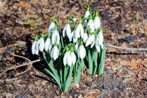 "Snowdrops are another sure sign of spring. Snowdrops produce one very small, pendulous bell-shaped white flower which hangs off its stalk like a ""drop"" before opening."