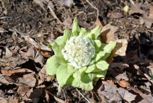 This is Petasites growing behind my tropical greenhouse. Petasites is a genus of flowering plants in the sunflower family, Asteraceae. They are also known as butterburs and coltsfoots.