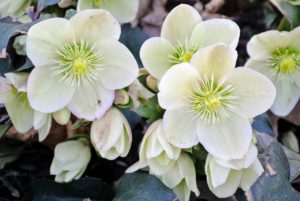 Hellebores are members of the Eurasian genus Helleborus - about 20 species of evergreen perennial flowering plants in the family Ranunculaceae. They blossom during late winter and early spring for up to three months.