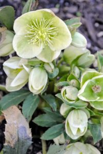 Hellebores are widely grown for decorative purposes because of their love for shady locations and resistance to frost.