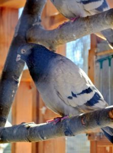 This pigeon is a Dunn Tippler - another bird that is very adept at staying in flight for hours without stopping.