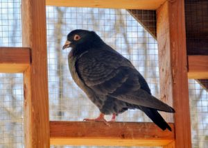 Fancy pigeons are domesticated varieties of the wild rock dove, bred by pigeon fanciers for size, shape, color, and behavior.