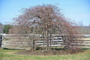 Under ideal conditions, weeping hornbeams can live up to 120-years or more.