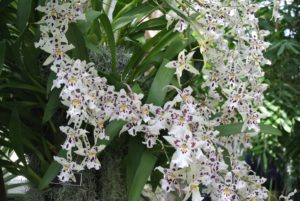 This orchid is called x Aliceara Snowblind 'Sweet Spots'.