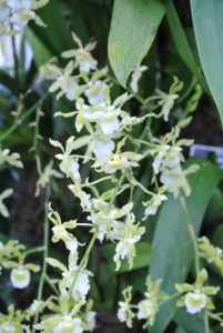 These dancing ladies orchids are Oncidium Irish Mist 'Big Hot Sun'.