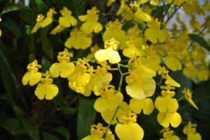 This orchid is called x Oncidesa Sweet Sugar 'Lemon Drop' - a  beautiful pure yellow.