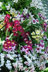 These are Pansy Orchids, or Miltoniopsis. This was once considered a single genus of about 20-epiphytic species from South America. Now the species is divided into two genera: Miltonia and Miltoniopsis.