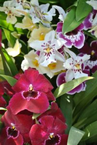Miltoniopsis is a small genus of fragrant epiphytic orchids, named of course because of their resemblance to the flower.