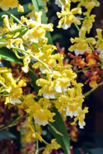 This is Oncidium Sanguine 'Celtic Goddess'.