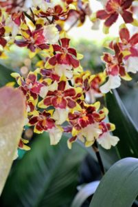 And these orchids are x Oncostele Wildcat cultivars.