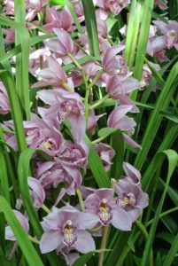 Here are more cymbidiums. The flowers can last anywhere from eight to 10 weeks and come in almost all colors except blue. I grow lots of cymbidiums at the farm.