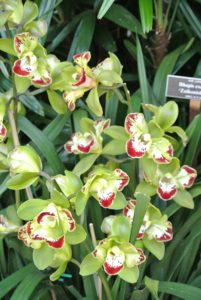 Cymbidiums have grass-like leaves and tall spikes of waxy flowers. They are also called Asian Corsage Orchids.