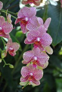This is Phalaenopsis I-Hsin 'Spot Leopard'.