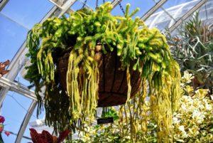 Here is a rock-tassel-fern Huperzia squarrosa.