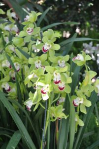 Here's another corsage orchid - Cymbidium Lovely Valley 'Peace in the World'.