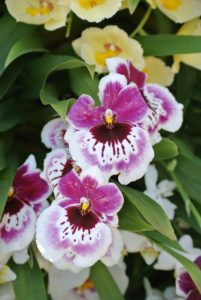 Phalaenopsis has moth-like flowers in a wide array of striking colors.