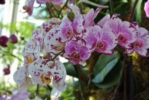 Moth orchids thrive in warm temperatures and moderate light.