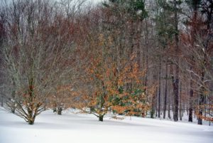 Behind the weeping larch is a favorite grove among visitors and guests at the farm - my stand of American beech trees. They are slow to grow, but can live up to 300-years. Even in high winds and heavy snow, they hold onto their leaves.