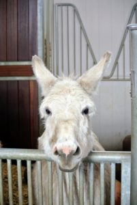 Here is Clive, one of my three Sicilian donkeys, waiting his turn to go out to his paddock. During any bad weather, I keep all the equids in the stable, where it is safe and warm.