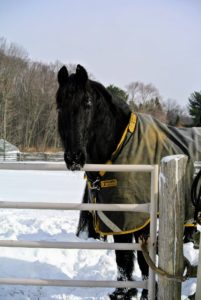 My dear Friesians did not seem to mind the cold weather and gusts of wind. In fact, Sasa is very happy to be outside today in his paddock.