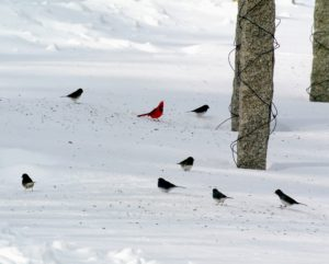 Here are some wild birds feeding on the seeds that have fallen out of one of the bird feeders at the clematis pergola - hard to miss the handsome cardinal.