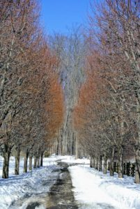 Meanwhile, back at my Bedford, New York farm, warmer weather is finally beginning to melt all the snow from Winter Storm Stella. Here is my allee of lindens.