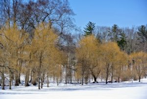 My grove of weeping willows adds such a pretty palette of gold to the wintry landscape.