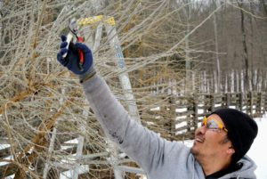 Because of the thorny branches, it is important to wear protective glasses, long sleeves and thick gloves when working with these trees.