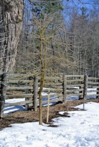Although it is difficult to see, this Osage orange tree has been well-pruned and will look very pretty when its leaves return.