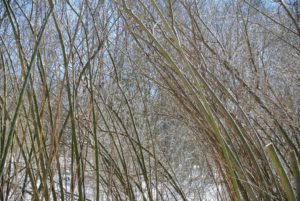 Salix discolor is the American pussy willow. Pussy willows can grow up to 20-feet or even more, when left unpruned. Pussy willow trunks can be either single or clustered with flexible branches and branchlets.