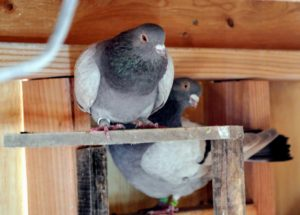 Oftentimes, pigeons of the same breed will stay close together - here is a pair of Dunn Tipplers.