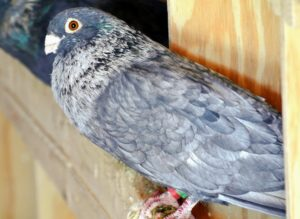 And, like humans, pigeons can see in color, but they can also see ultraviolet light, a part of the spectrum that humans cannot see. As a result, pigeons are often used in search and rescue missions at sea.