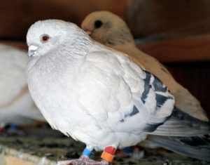 The Damascene pigeon is thought to have originated in Damascus, Syria. It is loved for its beauty and companionship – it is even believed that the Damascene was an avian companion to the prophet, Muhammed.