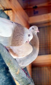 Pigeons breed all year round with peak breeding periods in spring and summer.