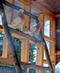 All birds roost. As soon as these pigeons arrived, we made a suitable ladder out of felled branches found right here at the farm. The pigeons love to perch on it during the day.