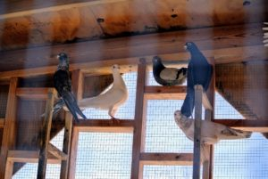 The white bird in the center is a Homer – among the most famous pigeon breeds. Homers come in a variety of colors and have a remarkable ability to find their way home from very long distances.