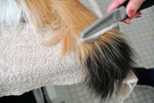 Here is her tail getting a good combing. Removing matted fur is important because collected mats can cause irritation and hair balls.