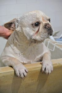 Creme Brûlée is next. My dogs are also very accustomed to being bathed. The Frenchies are nearly 14-months old and have had many baths. Always keep a close eye on young dogs when bathing - some are very quick to move.