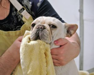 Creme Brûlée is a very sweet and loving puppy. She is bathed in the same way as the cats, using lukewarm water and shampoo specifically formulated for pets. Here she is in her large terry towel.