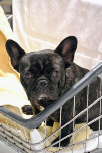 Bete Noire sits nearby and watches. These rolling laundry carts are excellent dog carriers!