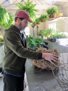 The sphagnum moss is very dry when it arrives. Here, Mike is preparing a section to soak so it softens and molds to the wire planter. Each hanging basket needs about a cubic-foot of sphagnum moss.